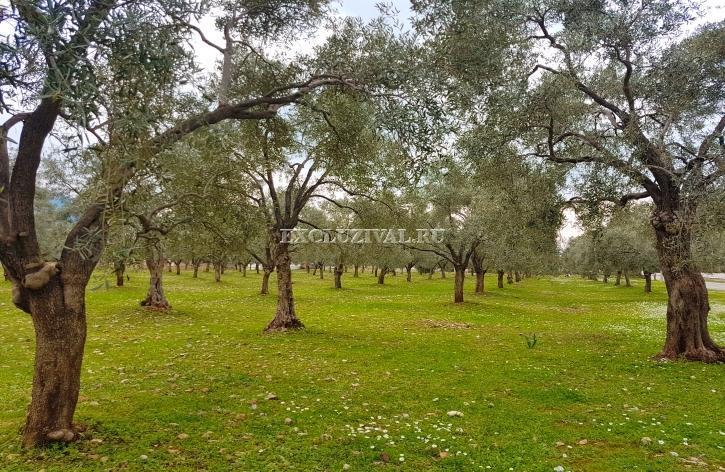 Вилла в оливковом саду